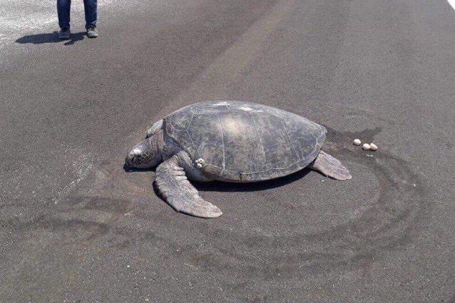 Maldive, tartaruga depone le uova sulla pista dell'aeroporto: la sua spiaggia non c'è più