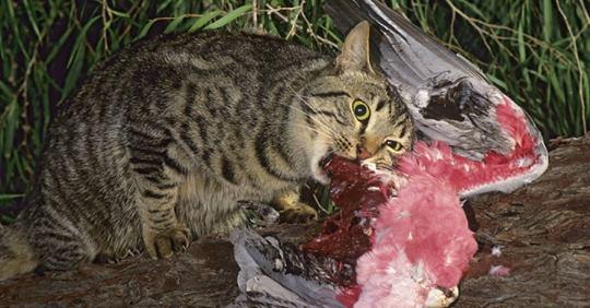 Gatti Selvatici Australiani