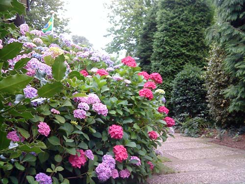 Colourful hortensia bush at the entrance