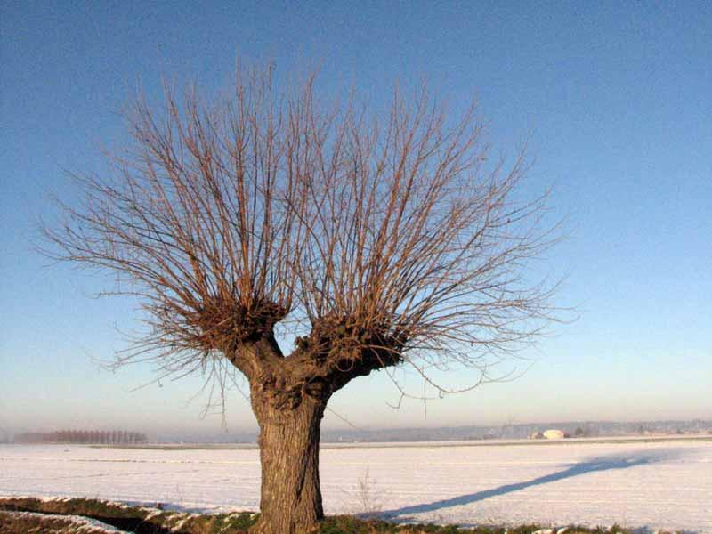 Salix genere Gli alberi delle aspirine