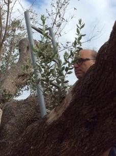 """Un innestatore di Alezio verifica il germoglio sul """"Gigante di Felline"""""""