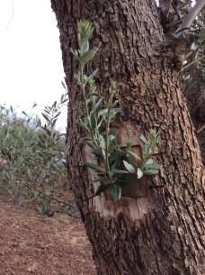 innesti voce dell'ulivo xylella (4)