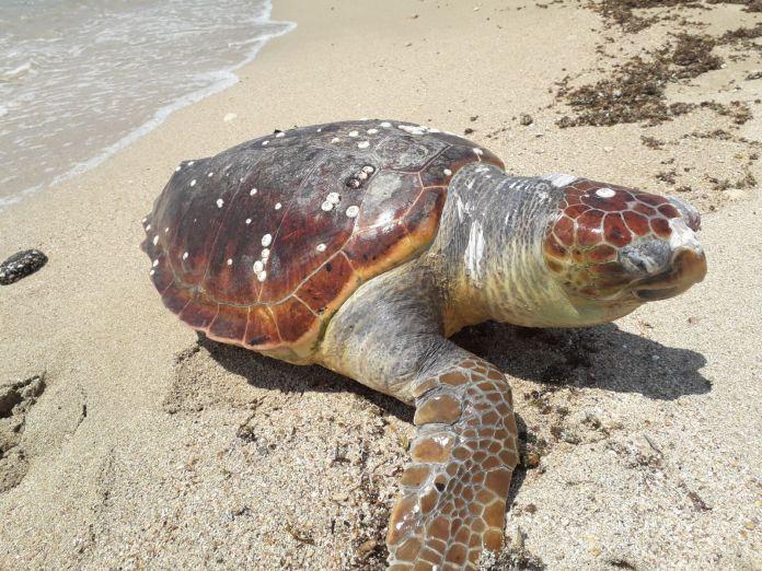 La tartaruga ritrovata a Felloniche
