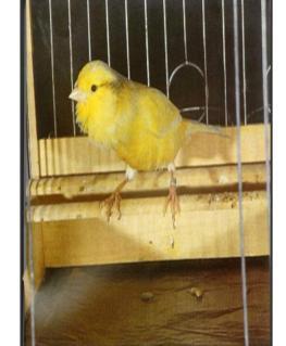 Il canarino Harz