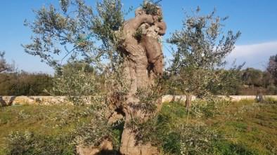 Patù ulivi innestati 3