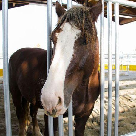 Il cavallo Isotta