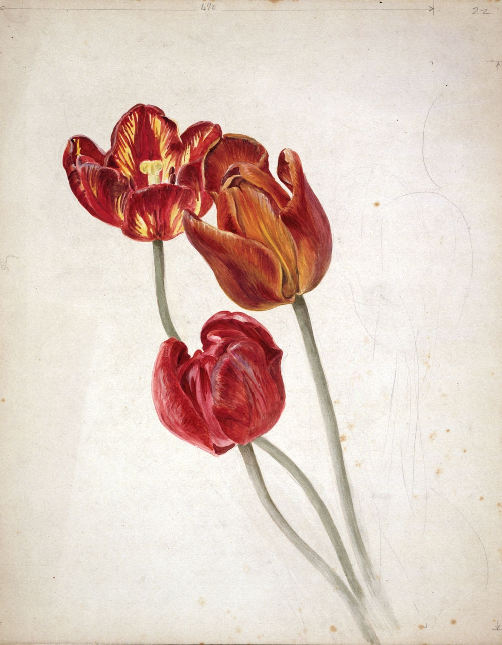 Red flowers drawn and coloured by Beatrix Potter
