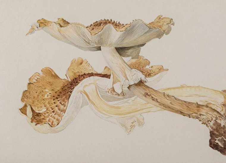 Beatrix Potter's fungi illustrations