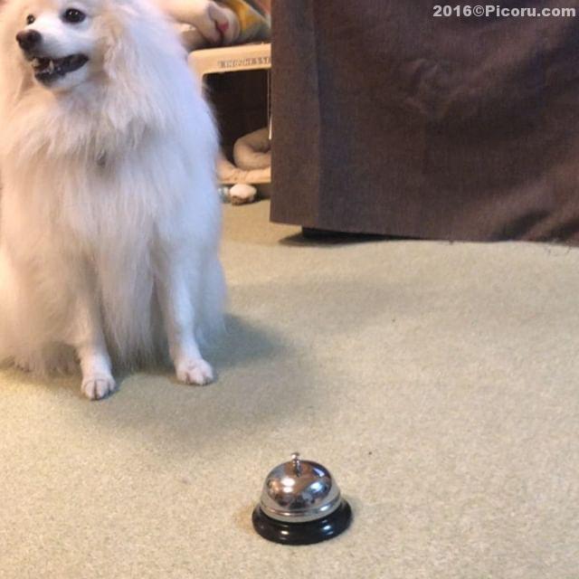 今年1発目の芸を取得^_^#日本スピッツ#犬バカ#日本犬#spitz