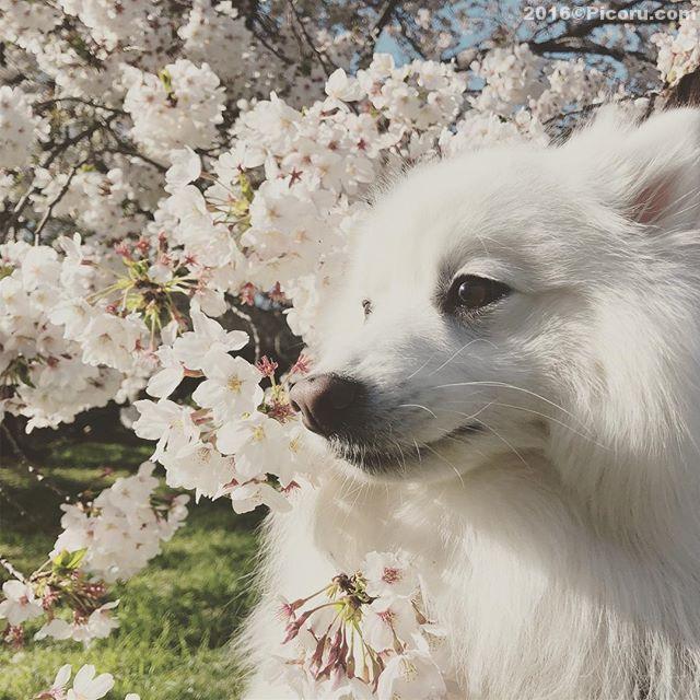 今日は買い物の後に大宮公園で散歩!桜はギリギリかな?#日本スピッツ#日本犬#スピッツ#犬バカ#犬好きさんと繋がりたい #犬なしでは生きていけません会 #犬と暮らす #犬好きと繋がりたい