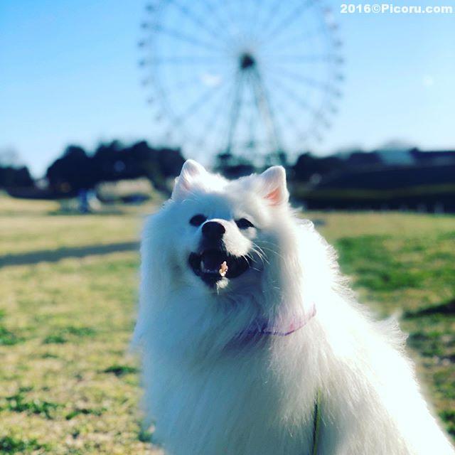 久しぶりに来た!#オフ会撮影⠀#日本スピッツ⠀#日本犬⠀#スピッツ⠀#犬バカ⠀#犬好きさんと繋がりたい ⠀#犬なしでは生きていけません会 ⠀#犬と暮らす ⠀#犬好きと繋がりたい