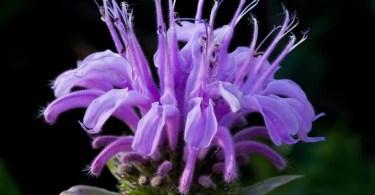 Wild Bergamot Flower