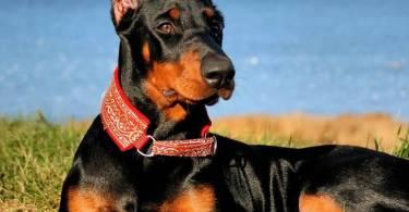 Attractive Doberman Pinscher Dog Picture For Wallpaper