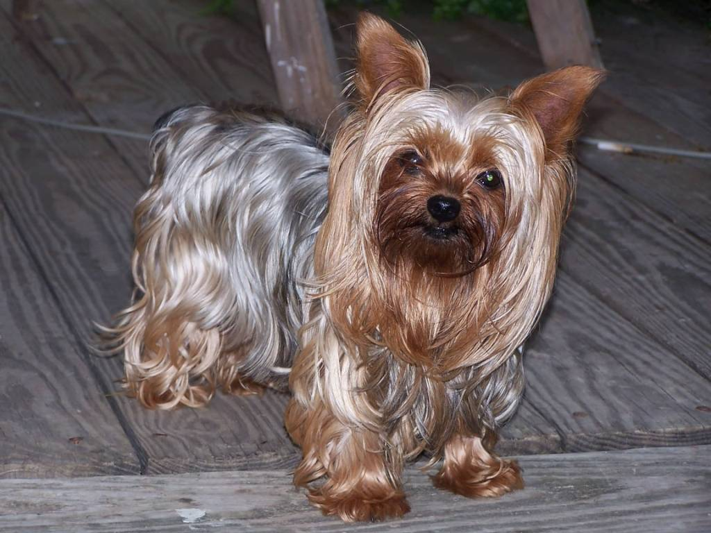 Fabulous Yorkshire Terrier Dog For Wallpaper