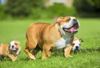 Full Faimly Images Brown Bulldogs In Park
