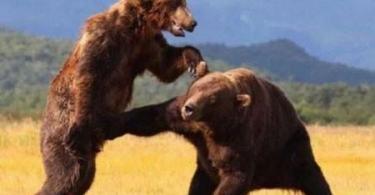 Fight Meme Bear dick punch