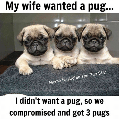 Pug Memes my wife wanted a pug