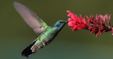 Green Violetear At A Flower