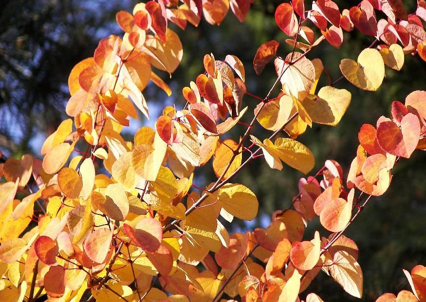 Cercidiphyllum Japonica Japanischer Katsurabaum