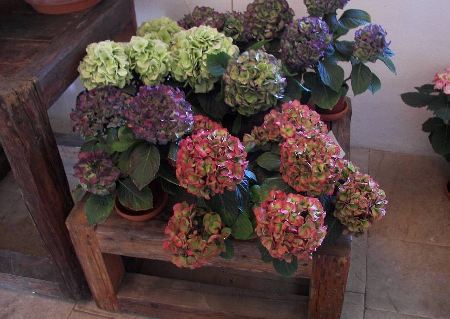 Bilder Bilder Fotos Bild Material Hortensienblueten Hortensien Verbluehen L