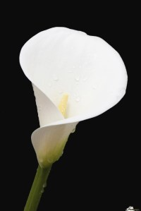 Calla Lily Black And White