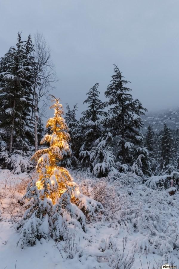 festive mountain hemlock evergreen