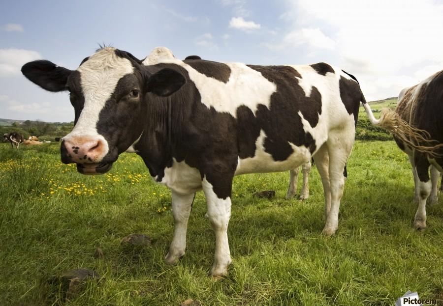 Holstein Friesian Cattle PacificStock Canvas