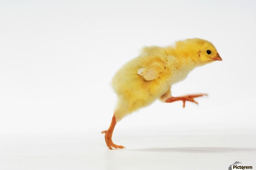yellow chick baby chicken
