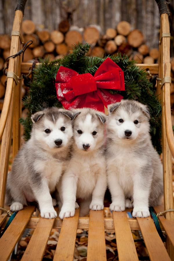 Siberian Husky Dogs Puppies