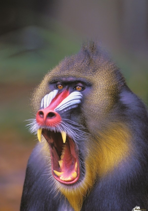 Roaring Mandrill Baboon;florida United States Of America