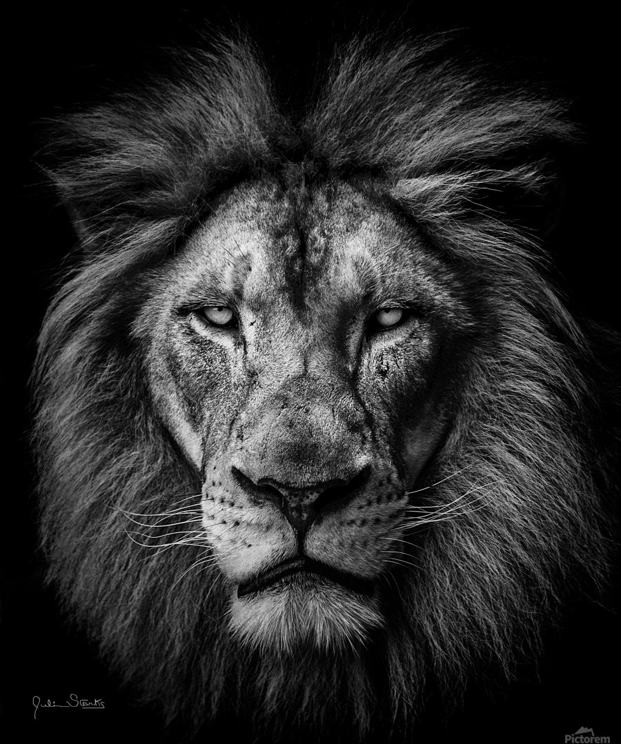 A Lion In Black White Julian Starks Photography