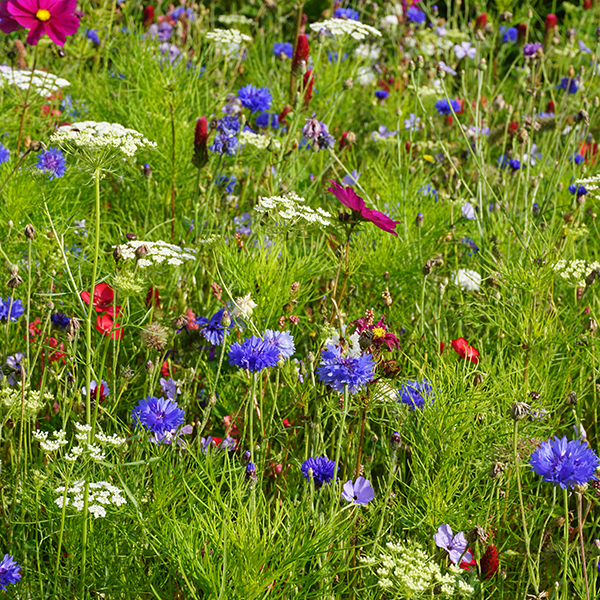 Patriotic Meadow