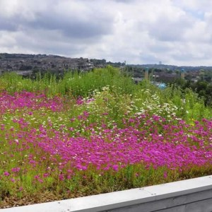 Standard Skyline Green Roof Meadow