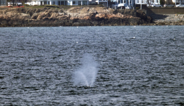 04/19/2016-Nahant,MA. A whale is seen in Nahant Bay, with Swampscott as a backdrop, Tuesday afternoon. Staff photo by Mark Garfinkel