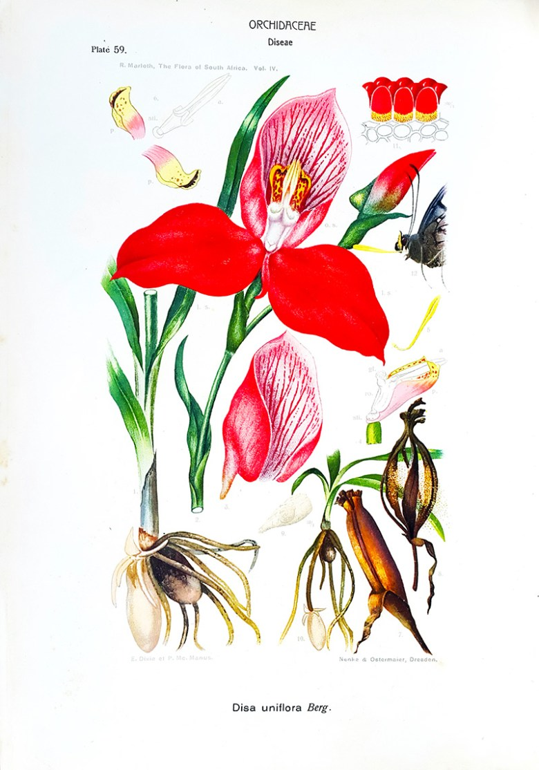 Orchid Disa_uniflora _flowers of South Africa