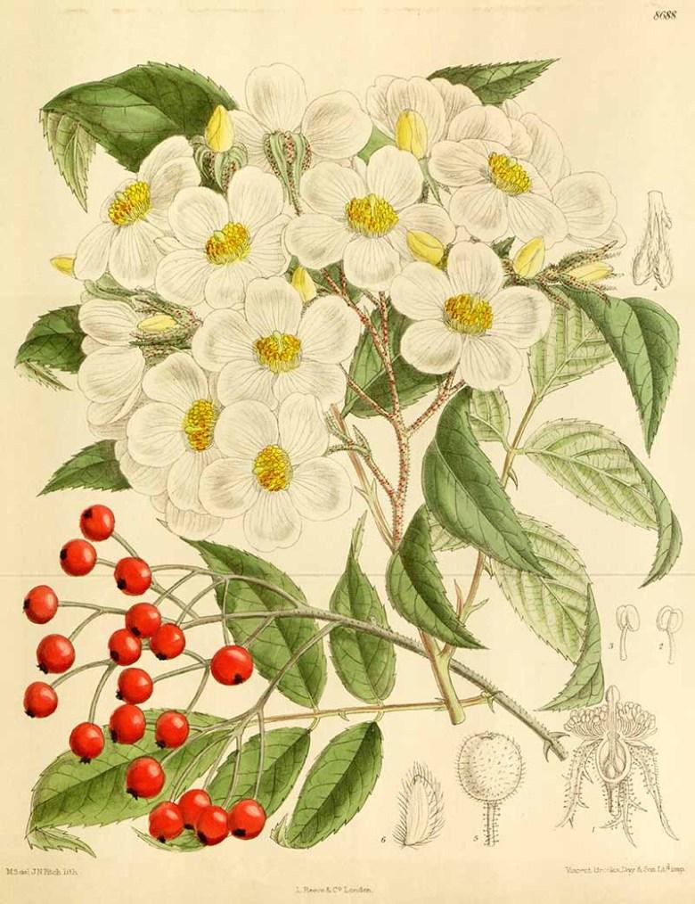 Rosa cerasocarpa 1916
