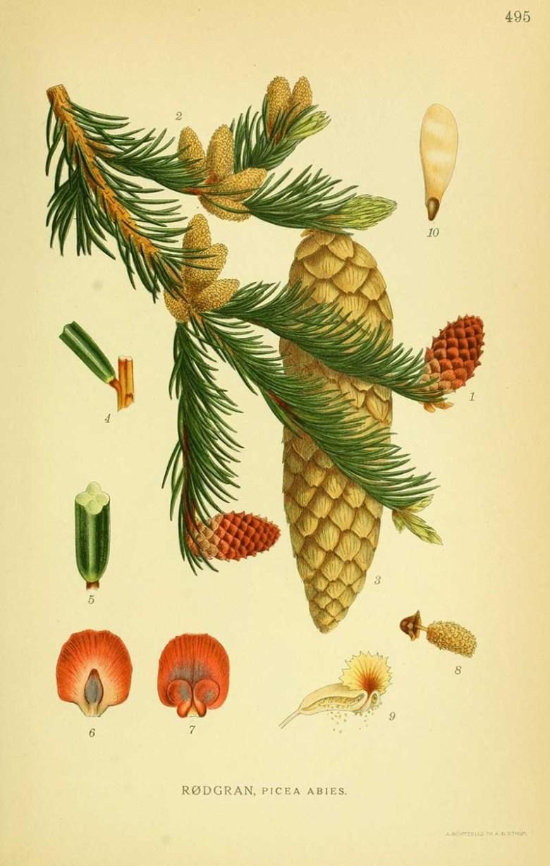 Vintage print of Norwegian Spruce