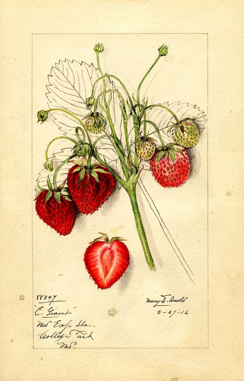 Early giant strawberries watercolor fruit painting