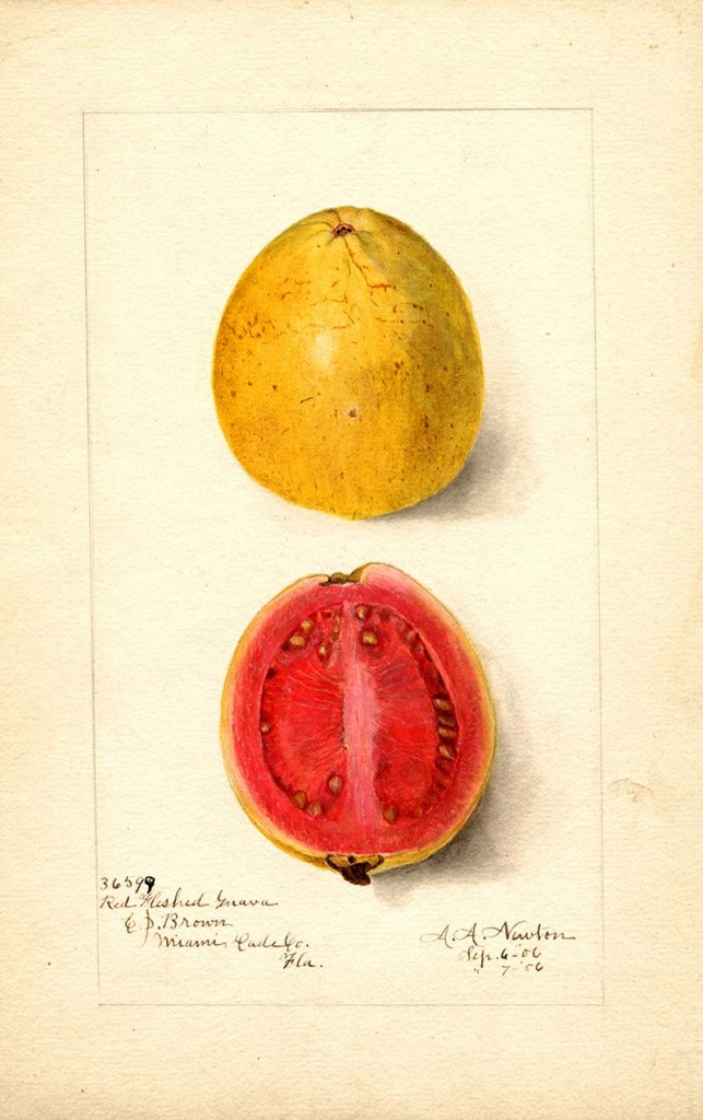 Pomological watercolor of a guava