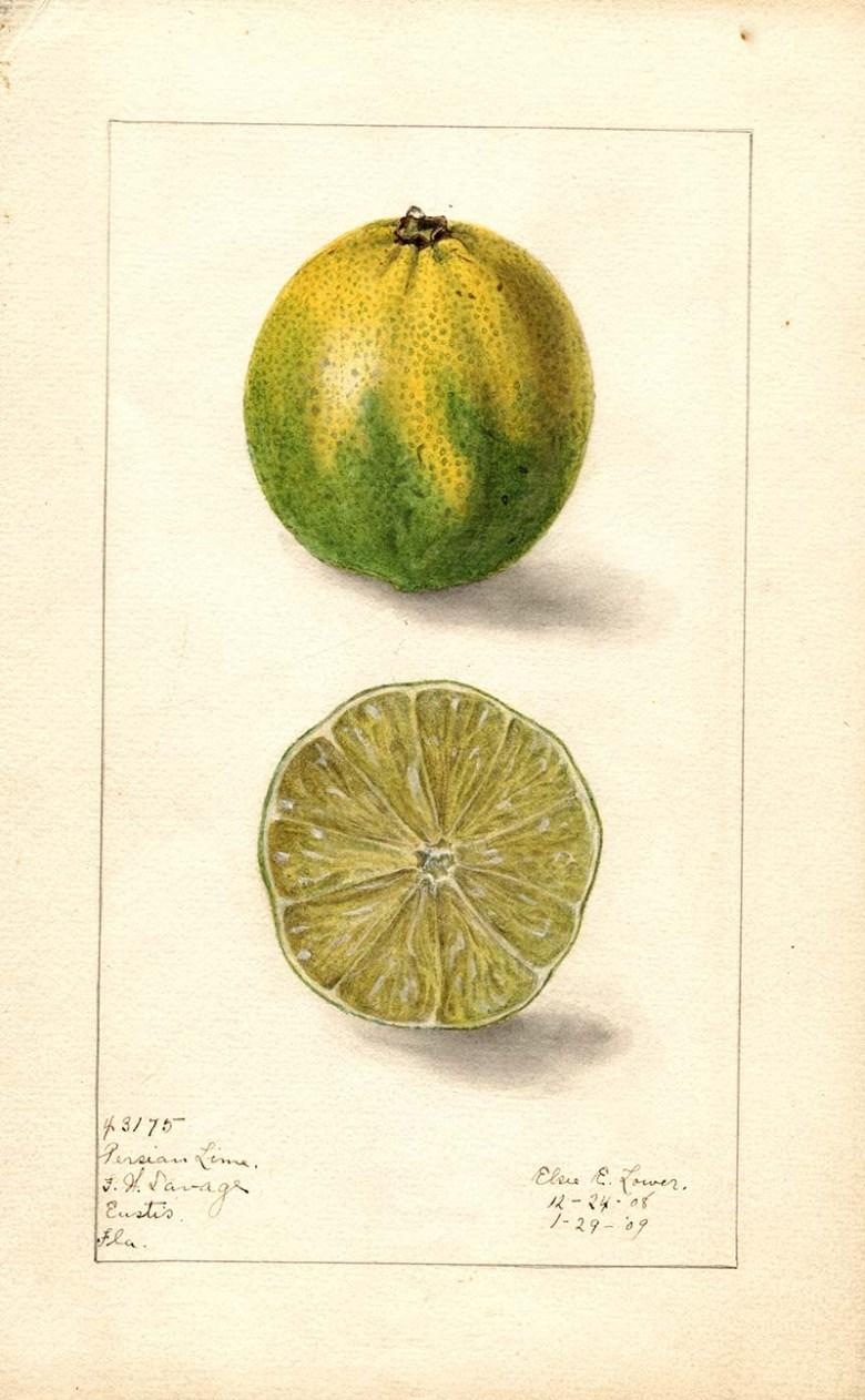 Persian lime print