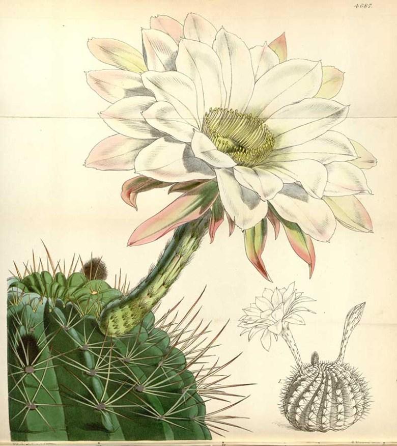 Vintage Cacti print 1852 Curtis Botanical
