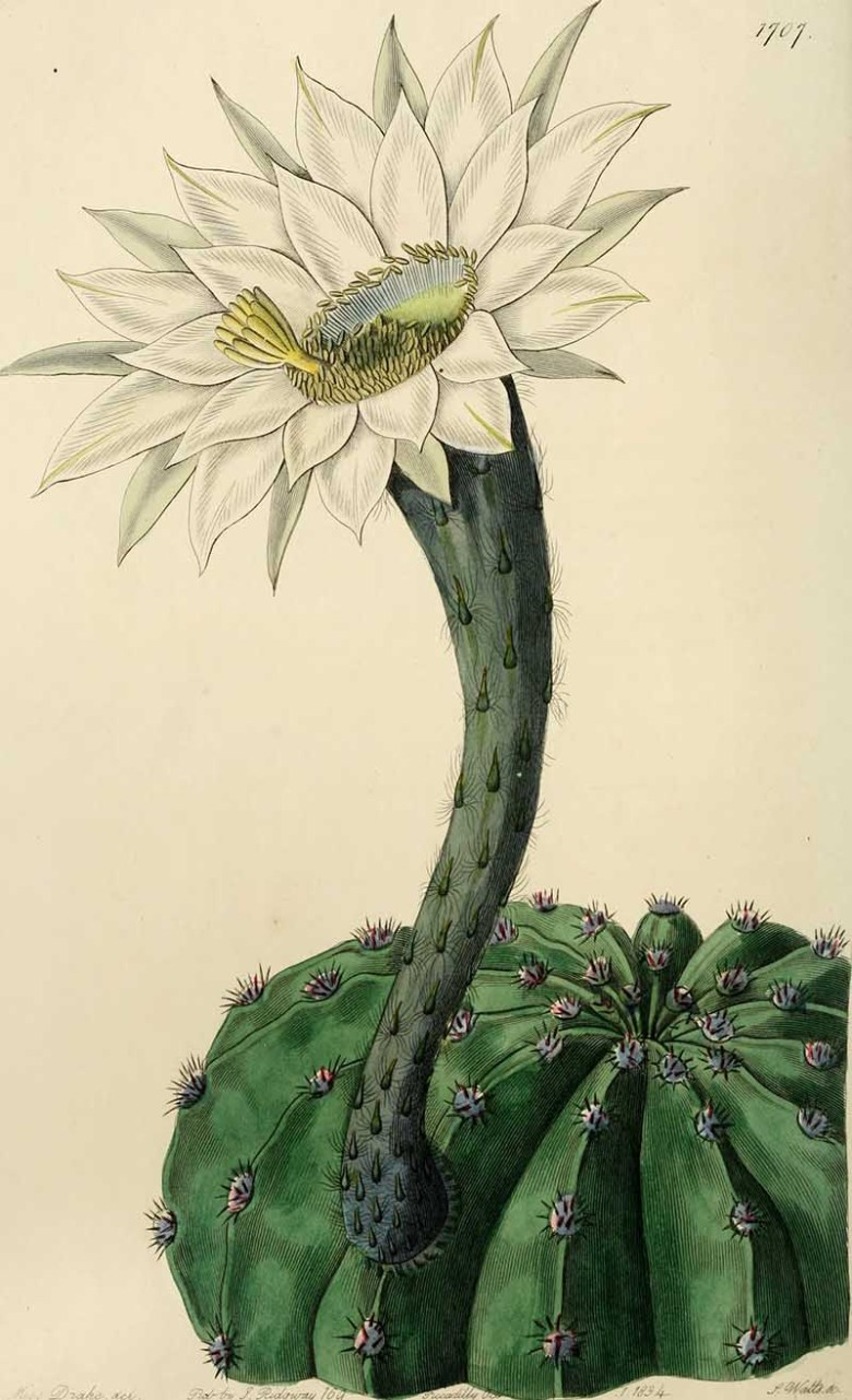 Edwards'_botanical_register,_white flowering cacti_(1829-1847)