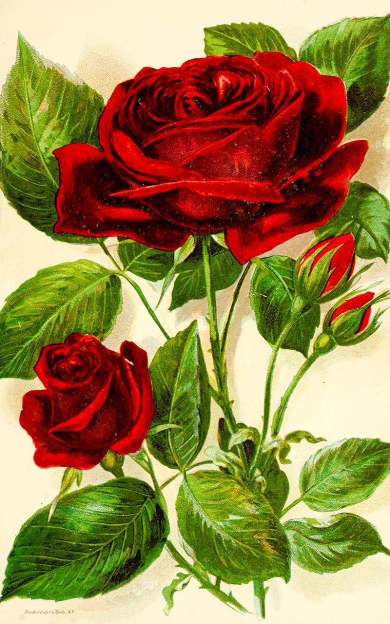 Jacqueminot botanical rose print.  Free to download.