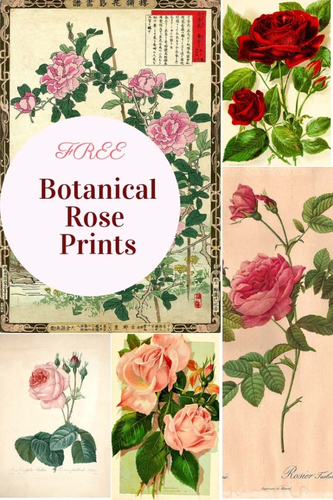 Roses the flowers of love.  Here are a collection of lovely botanical rose prints which are free to download.  Beautiful enough to hang on a gallery wall.  #roses #rose