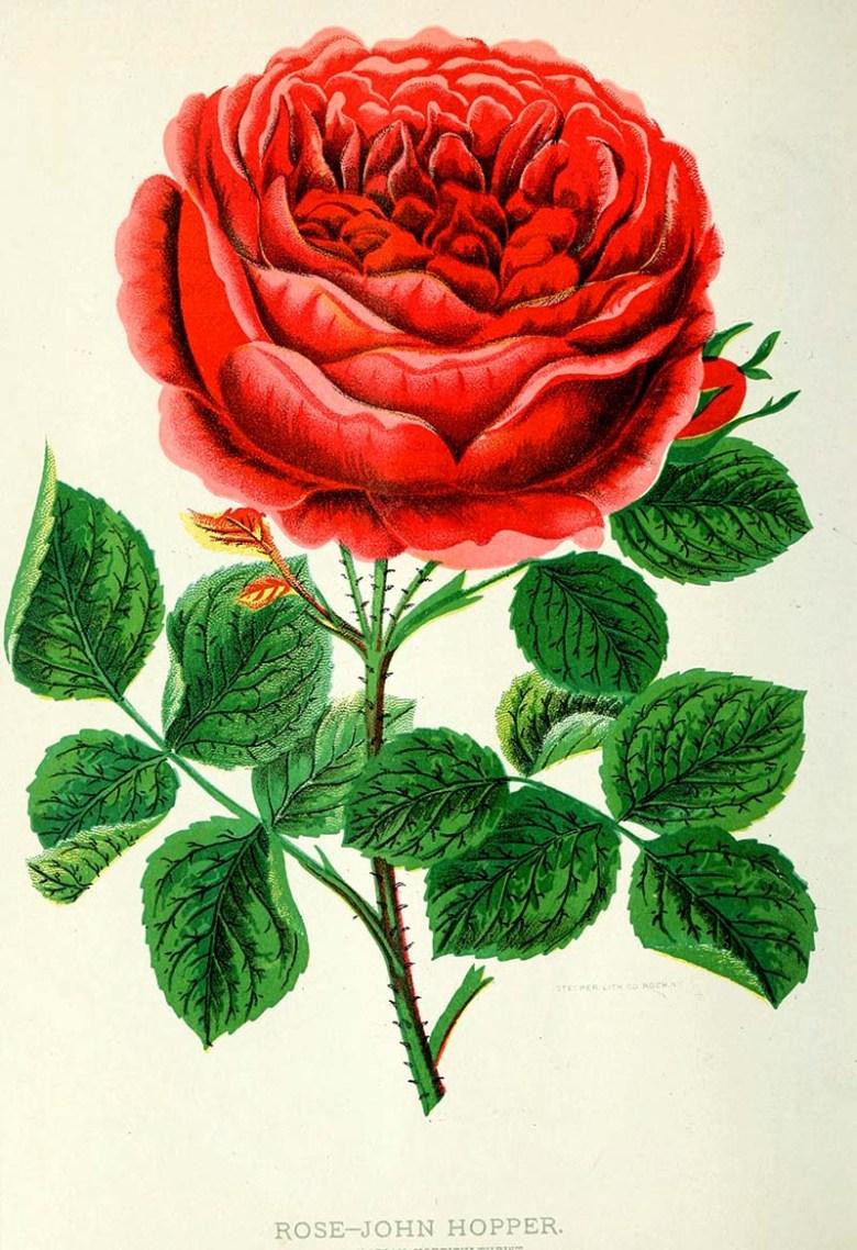 The Canadian horticulturist (monthly), 1889  Rose John Hopper