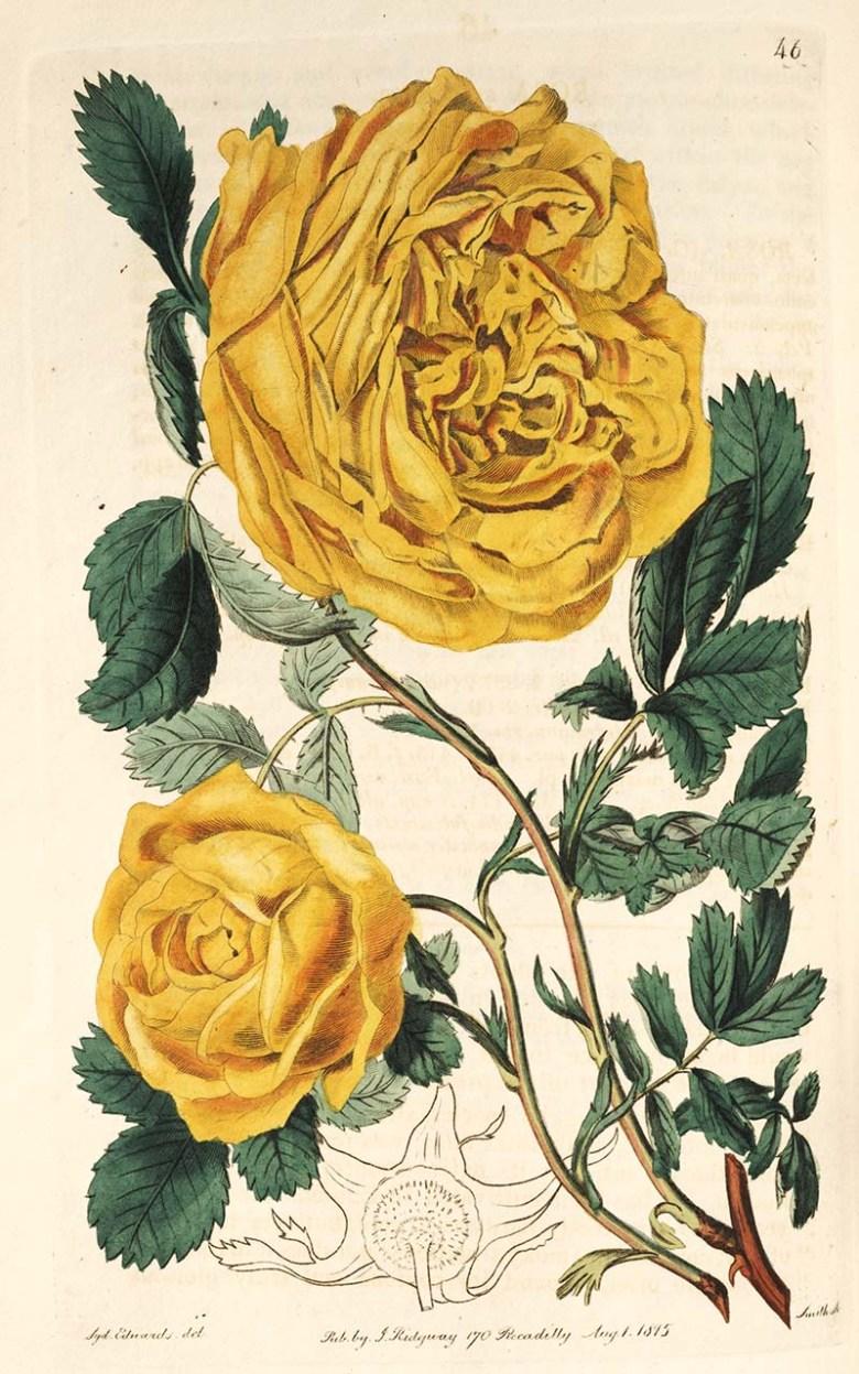Sulphur Rose one of many beautiful botanical rose prints free to download.