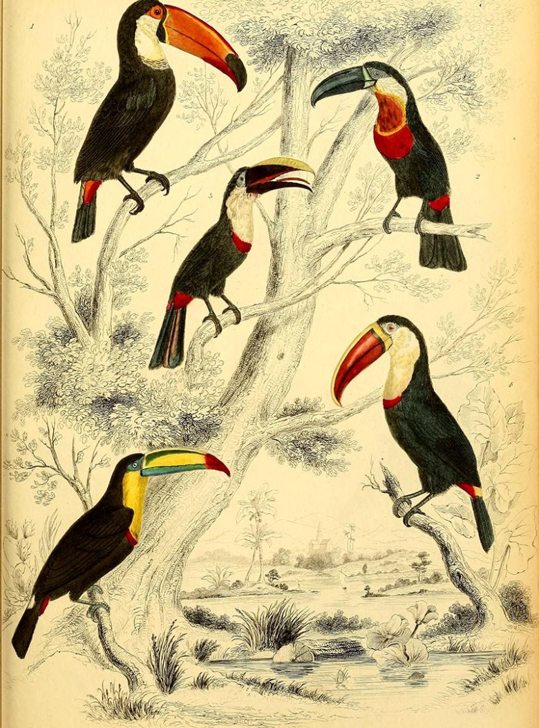 Toucans from the collection of free toucan paintings to download.