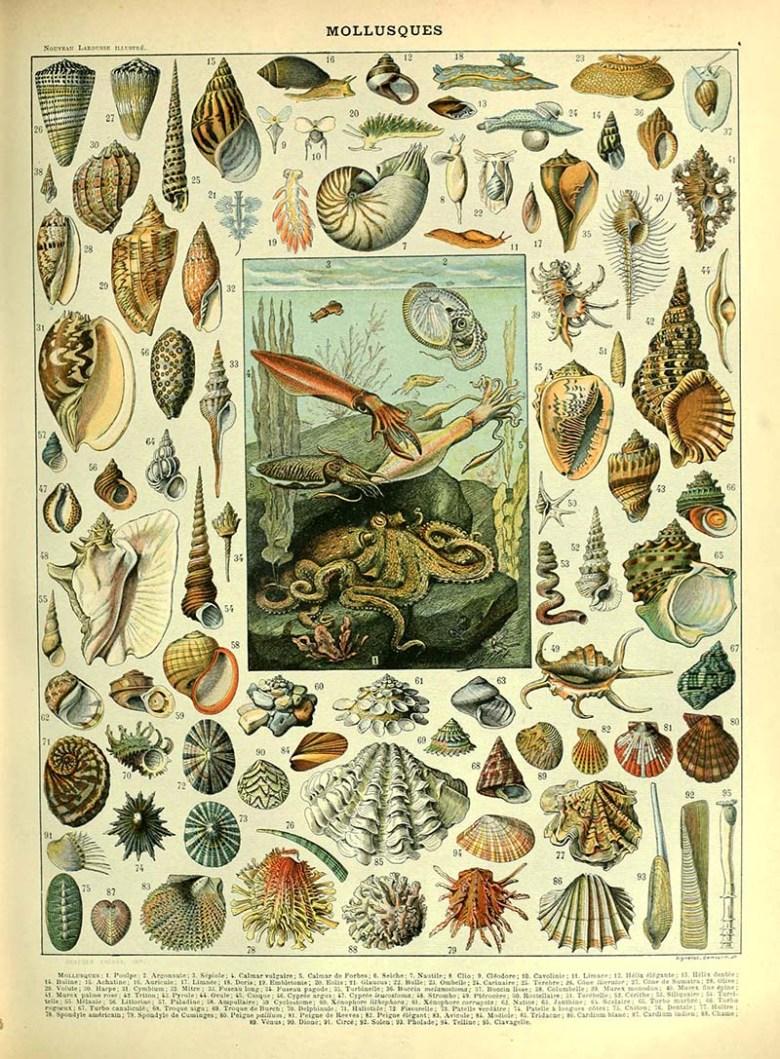 Molluscs Natural History sea life poster