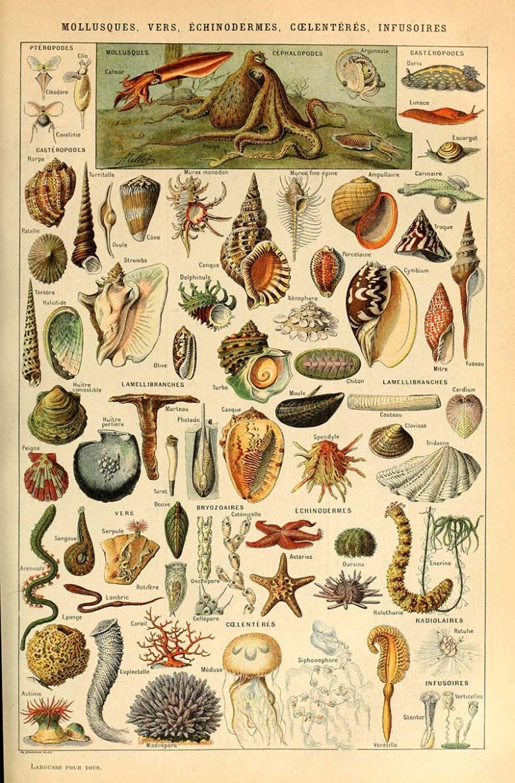 Adolphe_Millot_mollusques-vers echinodermes, coelenteres, infusoires