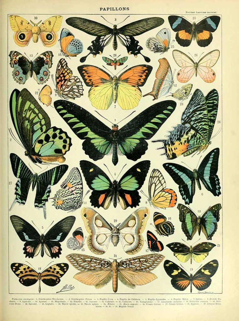 Natural History butterfly poster